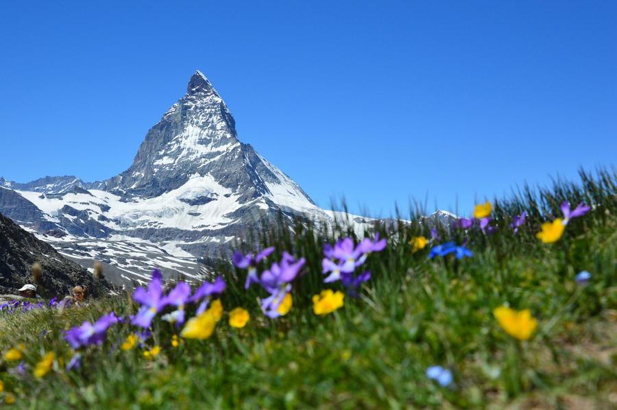 フリー写真 マッターホルンと高原の花