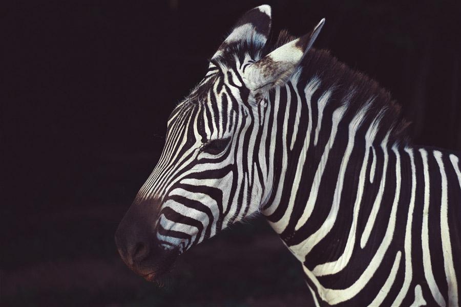 フリー写真 シマウマの子馬
