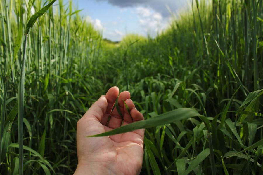 フリー写真 畑の作物に触れる手