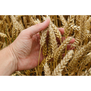 フリー写真, 人体, 手, 作物, 穀物, 麦(ムギ), 小麦(コムギ)