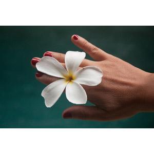 フリー写真, 人体, 手, 植物, 花, プルメリア, 白色の花