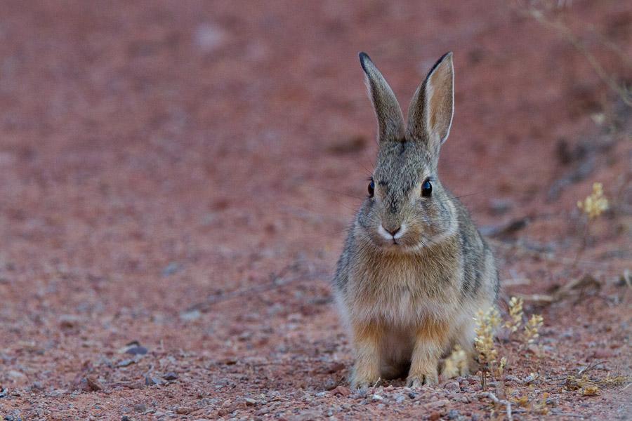 フリー写真 サバクワタオウサギ