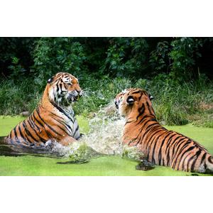 フリー写真, 動物, 哺乳類, 虎(トラ), ケンカ(動物), 水しぶき