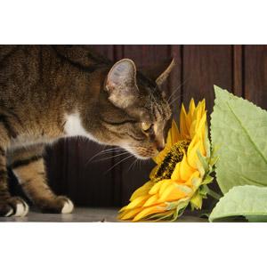 フリー写真, 動物, 哺乳類, 猫(ネコ), キジトラ猫, 匂いを嗅ぐ(動物), 植物, 花, 向日葵(ヒマワリ), 黄色の花