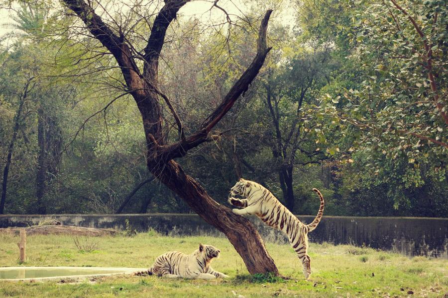 フリー写真 木の上に飛び上がるホワイトタイガー