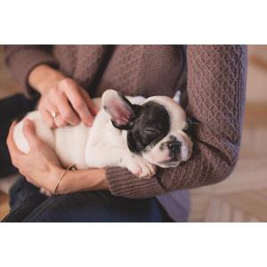フリー写真, 動物, 哺乳類, 犬(イヌ), 子犬, フレンチ・ブルドッグ, 子供(動物), 寝る(動物), 人と動物