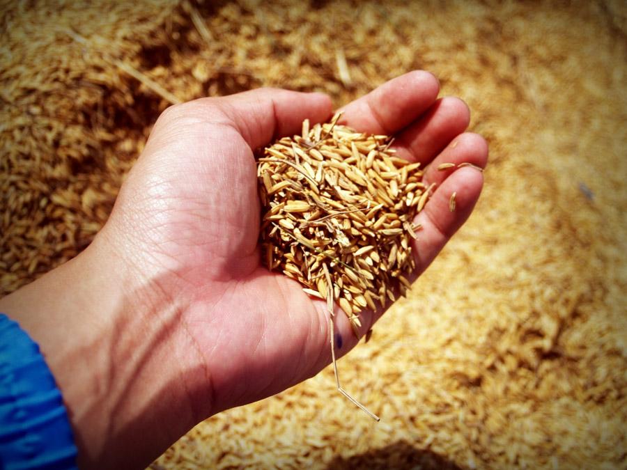 フリー写真 収穫したお米を掬う手