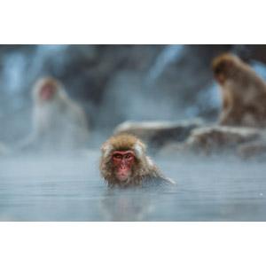 フリー写真, 動物, 哺乳類, 猿(サル), ニホンザル, 温泉, 露天風呂, 入浴(動物)