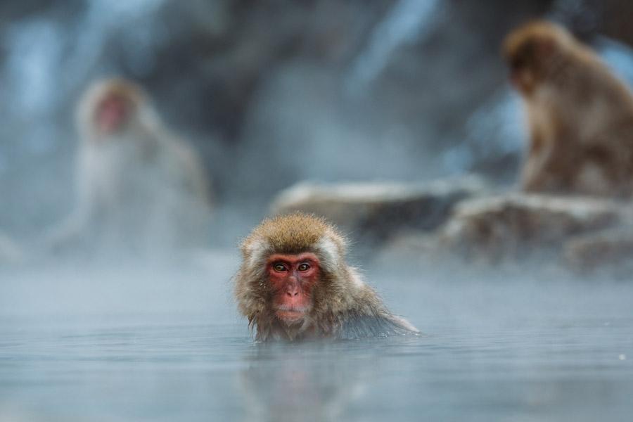 フリー写真 温泉に入るニホンザル