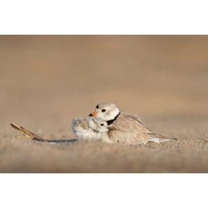 フリー写真, 動物, 鳥類, 鳥(トリ), チドリ, 子供(動物), 親子(動物), 雛(ヒナ)