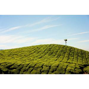 フリー写真, 風景, 畑, お茶, 作物, 樹木, 青空, インドの風景