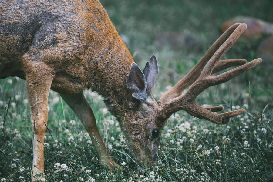 フリー写真 地面の草を食べる鹿