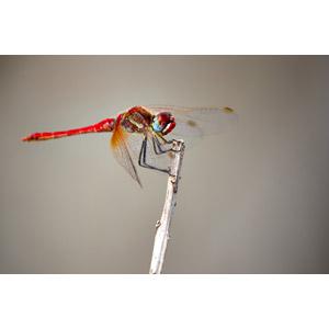 フリー写真, 動物, 昆虫, とんぼ(トンボ), 赤とんぼ(赤トンボ), 秋