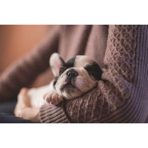 フリー写真, 動物, 哺乳類, 犬(イヌ), 子犬, 子供(動物), フレンチ・ブルドッグ, 人と動物, 寝る(動物)