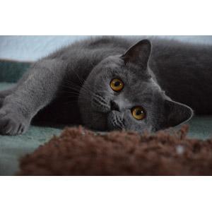 フリー写真, 動物, 哺乳類, 猫(ネコ), ブリティッシュ・ショートヘア