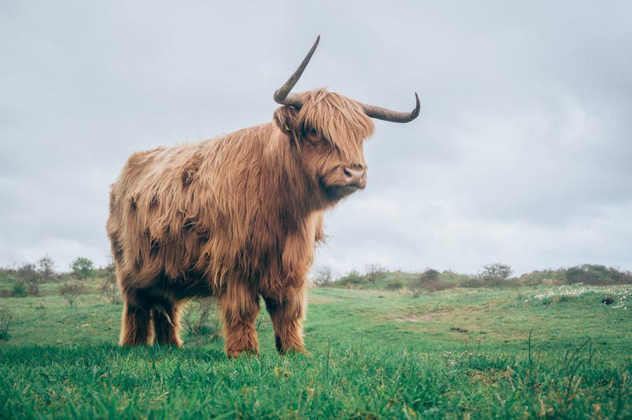 フリー写真 ハイランド牛