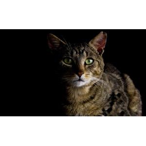 フリー写真, 動物, 哺乳類, 猫(ネコ), キジトラ猫
