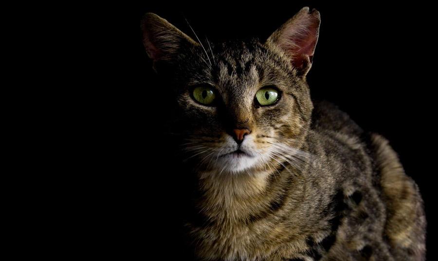 フリー写真 黒背景とキジトラ猫