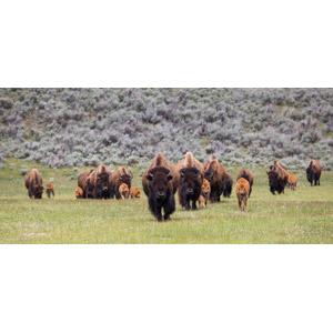 フリー写真, 動物, 哺乳類, 牛(ウシ), アメリカバイソン, 子供(動物), 親子(動物), 群れ
