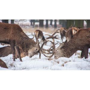 フリー写真, 動物, 哺乳類, 鹿(シカ), ケンカ(動物), 雪