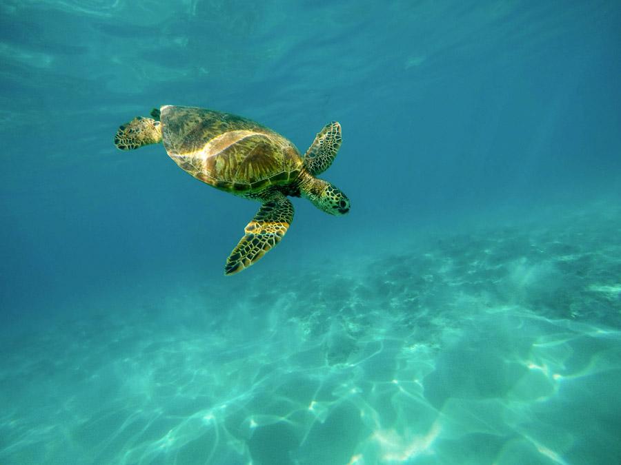 フリー写真 水中を泳ぐウミガメ
