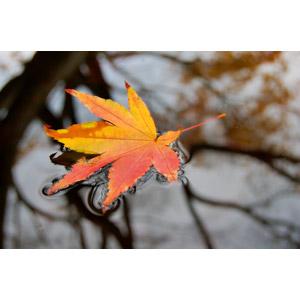 フリー写真, 植物, 葉っぱ, 落葉(落ち葉), もみじ(カエデ), 紅葉(黄葉), 秋, 水溜まり