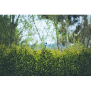 フリー写真, 動物, 鳥類, 鳥(トリ), アメリカカケス, 青い鳥, 垣根