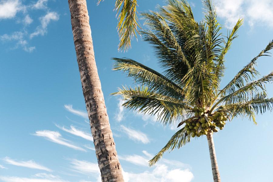フリー写真 青空とココナッツのなるヤシの木