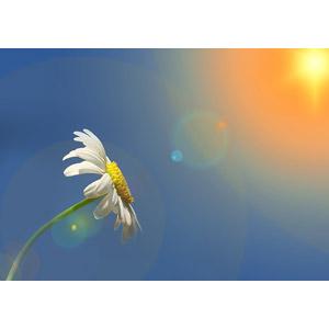 フリー写真, フォトレタッチ, 植物, 花, マーガレット, 白色の花, 太陽光(日光)