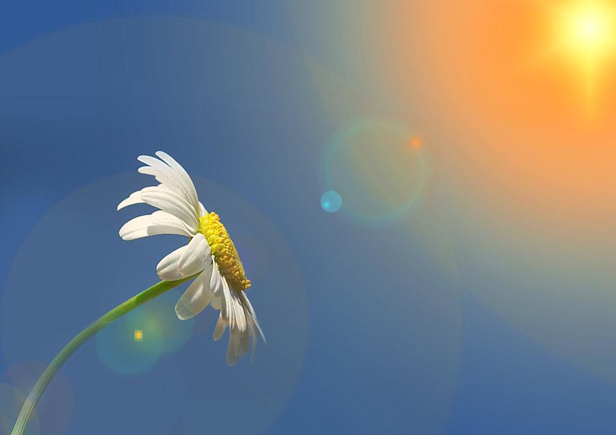 フリー写真 太陽の光とマーガレットの花